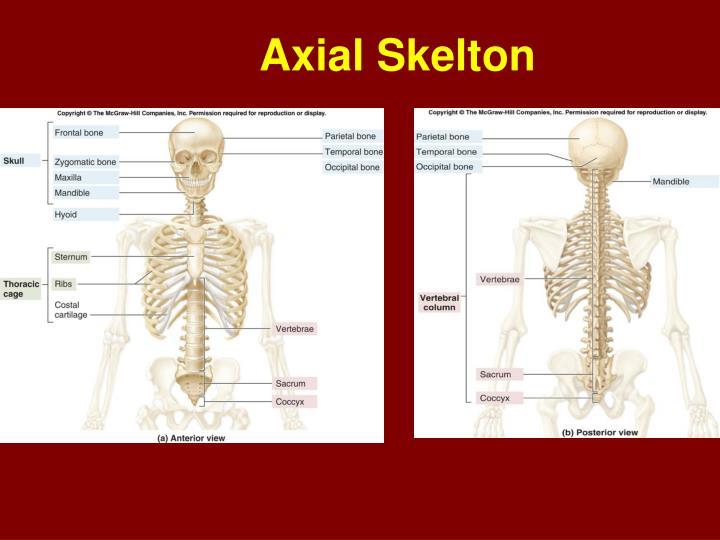 Axial Skelton