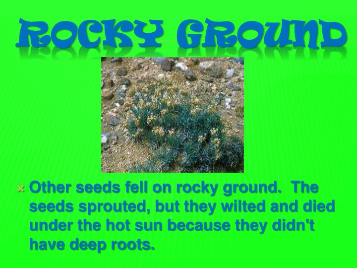 Other seeds fell on rocky ground.  The seeds sprouted, but they wilted and died under the hot sun because they didn't have deep roots.