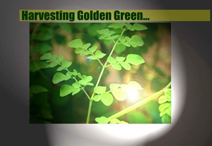 Harvesting Golden Green…