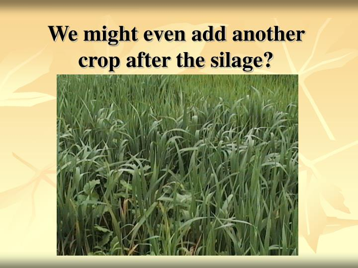 We might even add another crop after the silage?