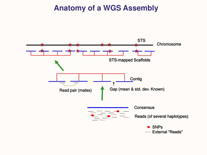 Anatomy of a WGS Assembly