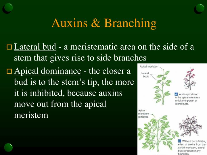 Auxins & Branching