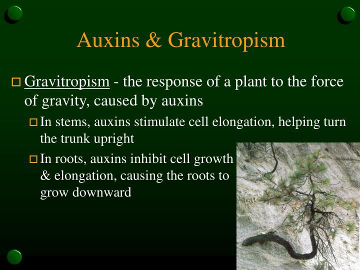 Auxins & Gravitropism