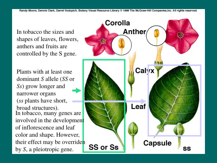 In tobacco the sizes and shapes of leaves, flowers, anthers and fruits are controlled by the S gene.