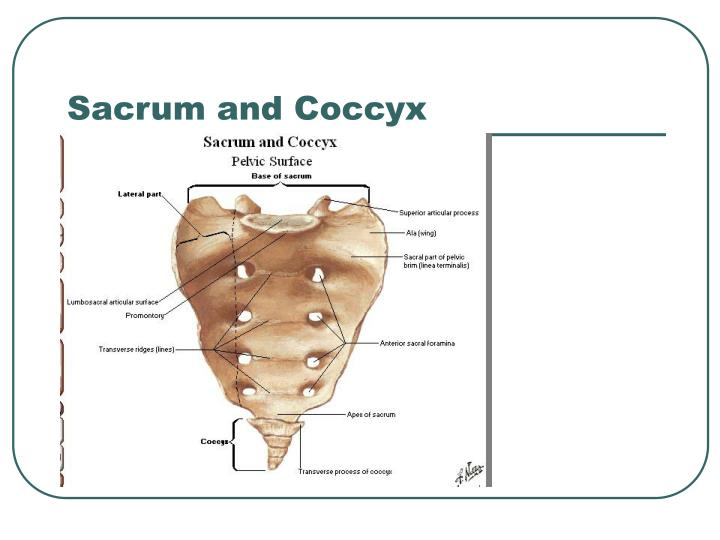 sacrum and coccyx images reverse search