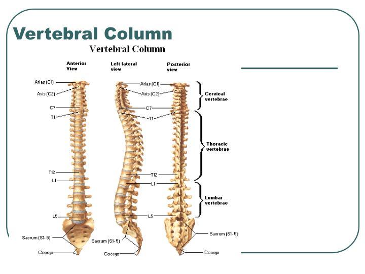 Vertebral column anatomy ppt