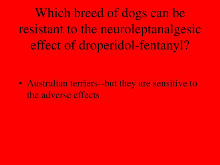 Which breed of dogs can be resistant to the neuroleptanalgesic effect of droperidol-fentanyl?