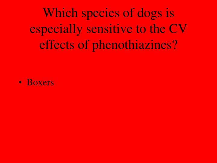 Which species of dogs is especially sensitive to the CV effects of phenothiazines?