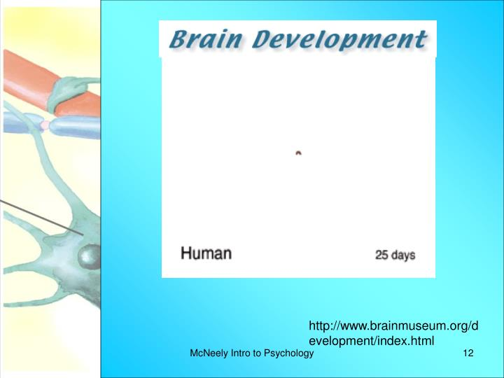 http://www.brainmuseum.org/development/index.html