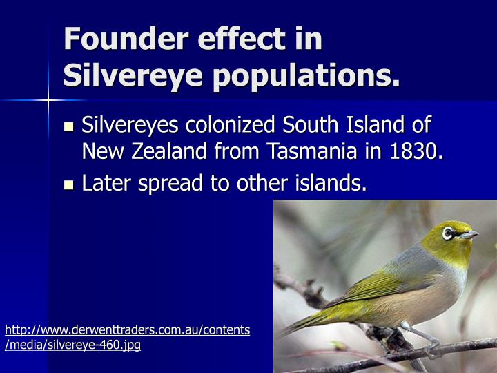 Founder effect in Silvereye populations.