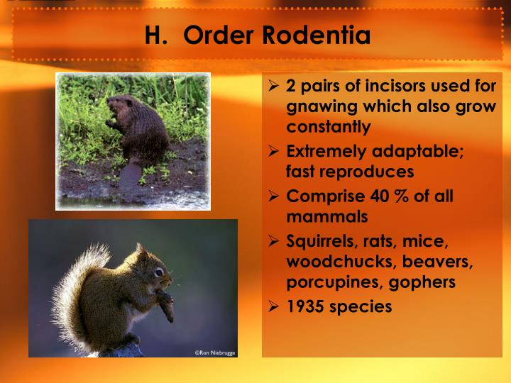H.  Order Rodentia