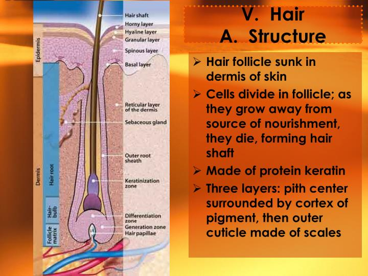 V.  Hair                               A.  Structure