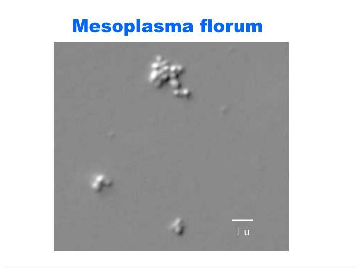 Mesoplasma florum