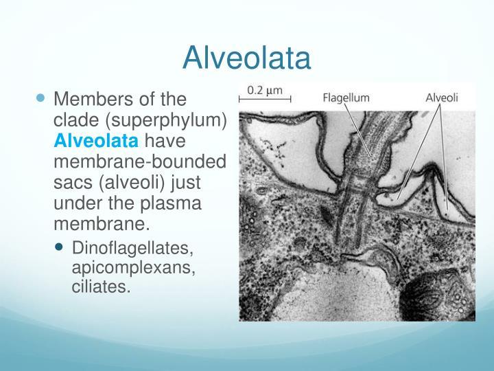 Alveolata