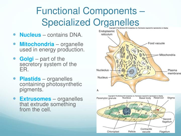 Functional Components – Specialized Organelles