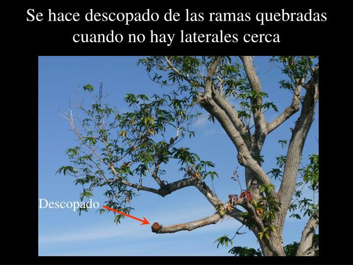 Se hace descopado de las ramas quebradas cuando no hay laterales cerca