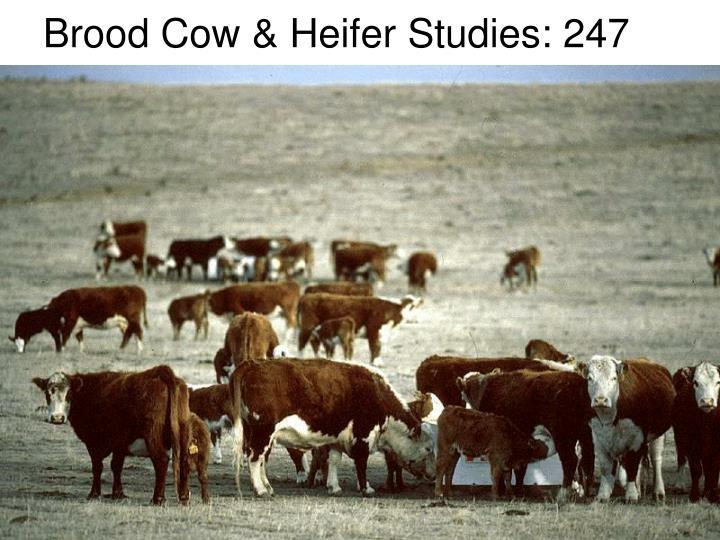 Brood Cow & Heifer Studies: 247