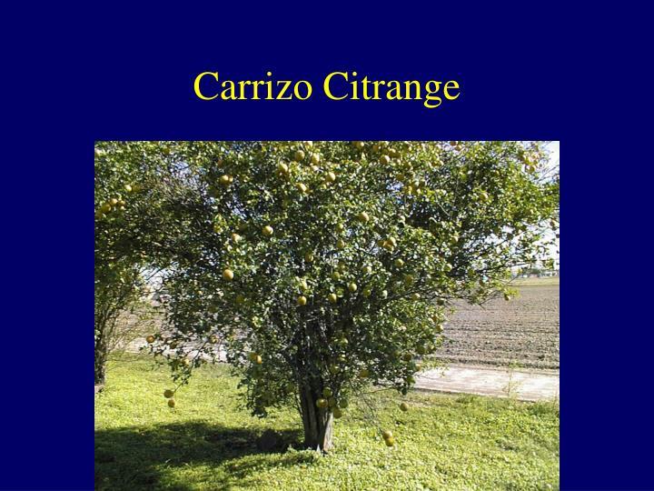 Carrizo Citrange