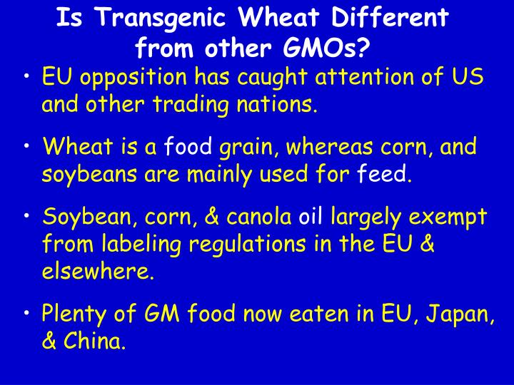 Is Transgenic Wheat Different from other GMOs?
