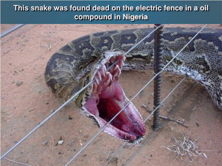 This snake was found dead on the electric fence in a oil compound in Nigeria