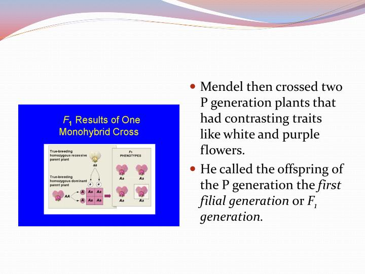 Mendel then crossed two P generation plants that had contrasting traits like white and purple flowers.