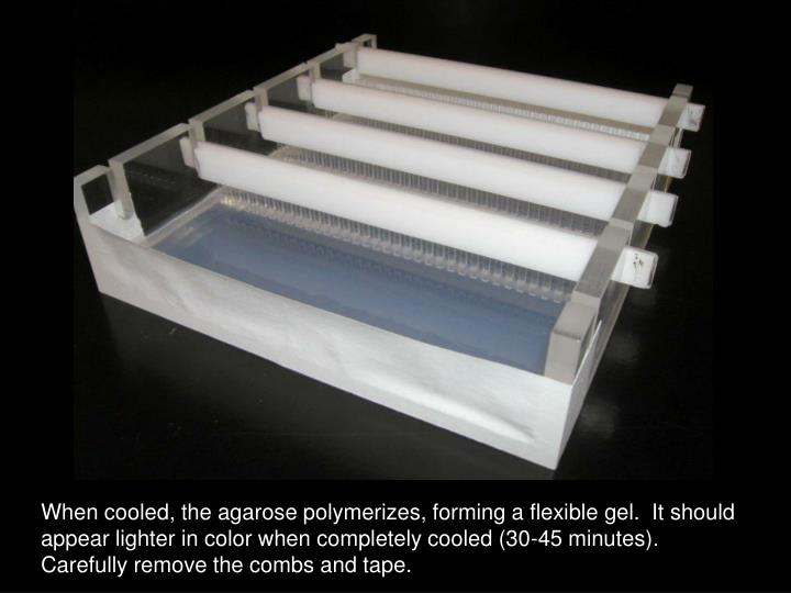 When cooled, the agarose polymerizes, forming a flexible gel.  It should appear lighter in color when completely cooled (30-45 minutes).  Carefully remove the combs and tape.