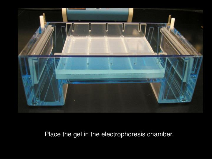 Place the gel in the electrophoresis chamber.