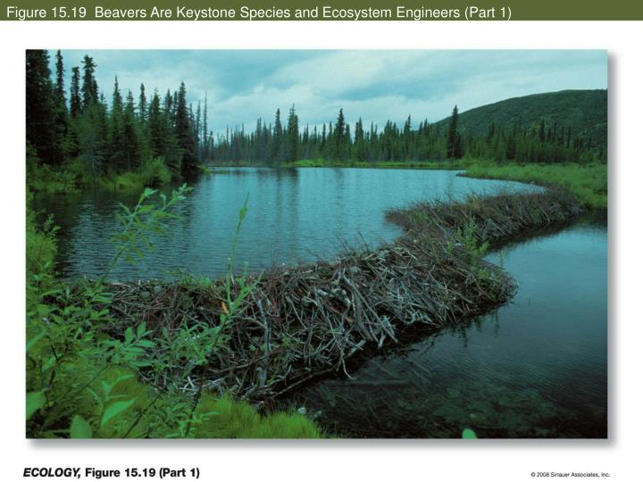 Figure 15.19  Beavers Are Keystone Species and Ecosystem Engineers (Part 1)
