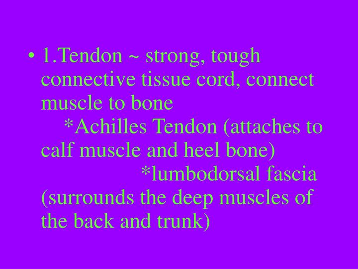 1.Tendon ~ strong, tough connective tissue cord, connect muscle to bone      *Achilles Tendon (attaches to calf muscle and heel bone) *lumbodorsal fascia (surrounds the deep muscles of the back and trunk)