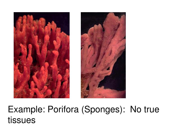Example: Porifora (Sponges):  No true tissues