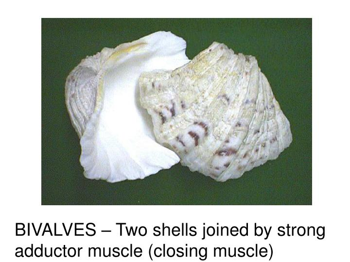 BIVALVES – Two shells joined by strong adductor muscle (closing muscle)