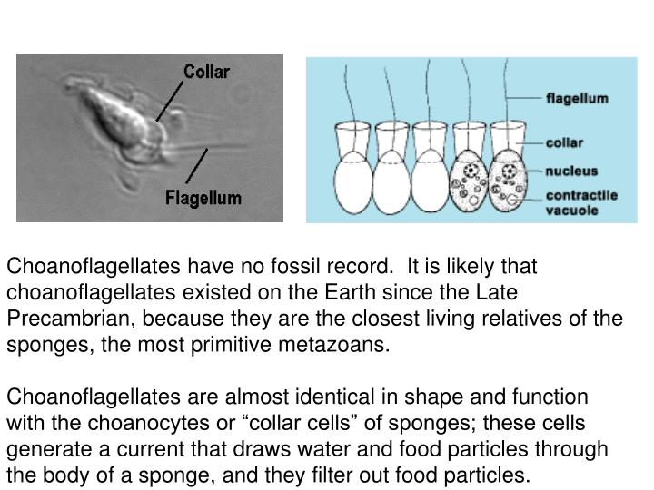 Choanoflagellates have no fossil record.  It is likely that choanoflagellates existed on the Earth since the Late Precambrian, because they are the closest living relatives of the sponges, the most primitive metazoans.