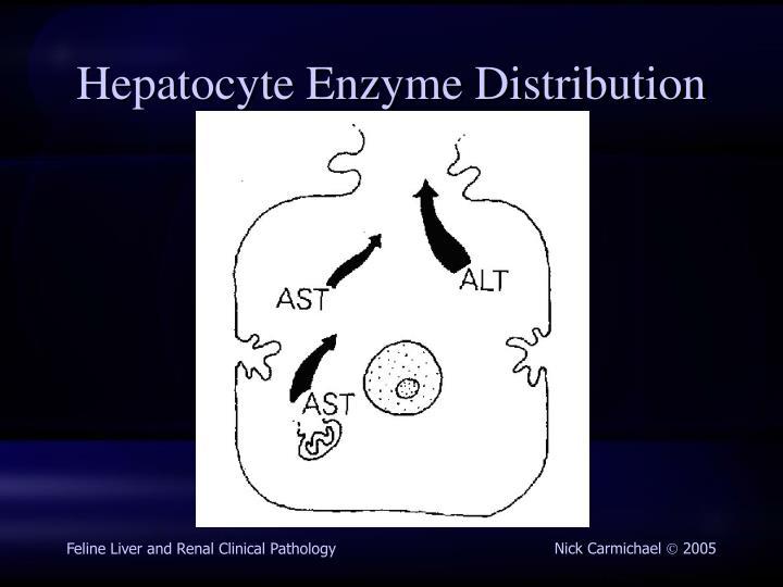 Hepatocyte Enzyme Distribution