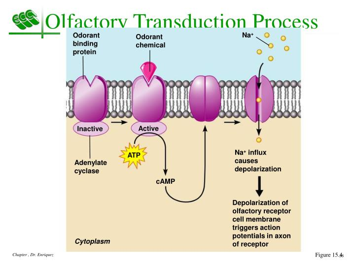 Olfactory Transduction Process