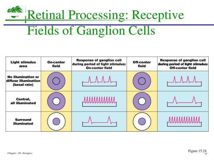 Retinal Processing: Receptive Fields of Ganglion Cells