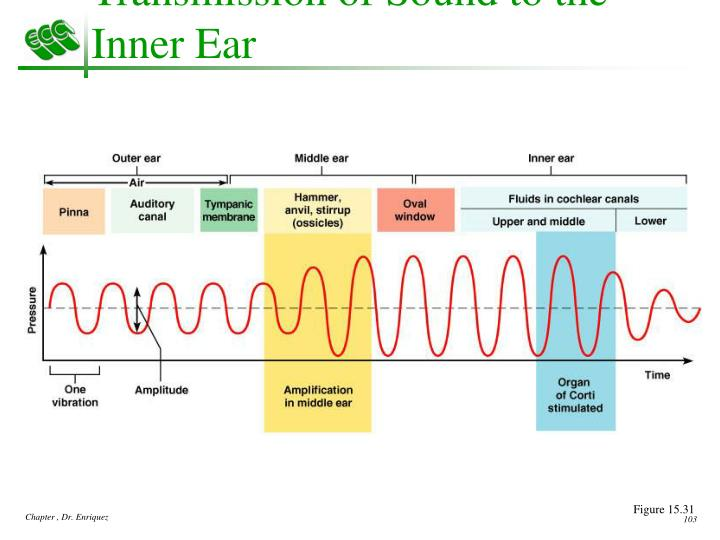 Transmission of Sound to the Inner Ear