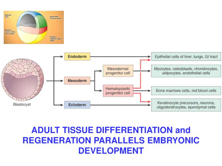 ADULT TISSUE DIFFERENTIATION and REGENERATION PARALLELS EMBRYONIC DEVELOPMENT