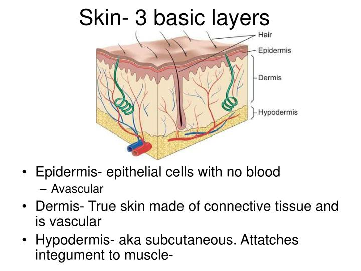 Skin- 3 basic layers