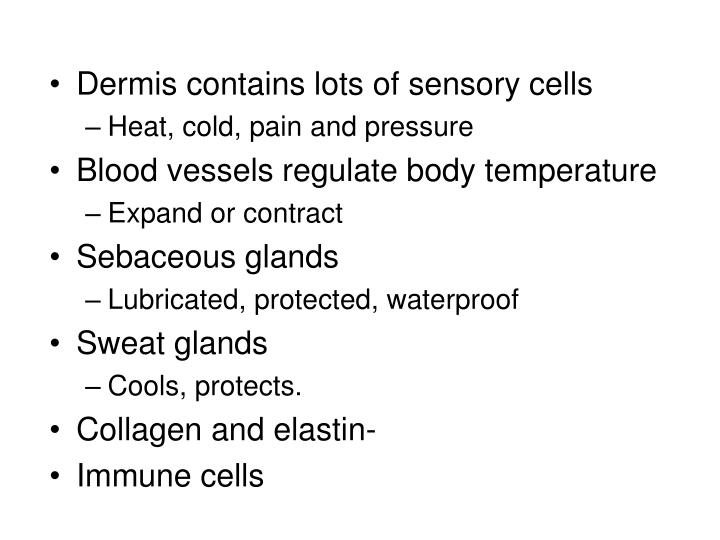 Dermis contains lots of sensory cells