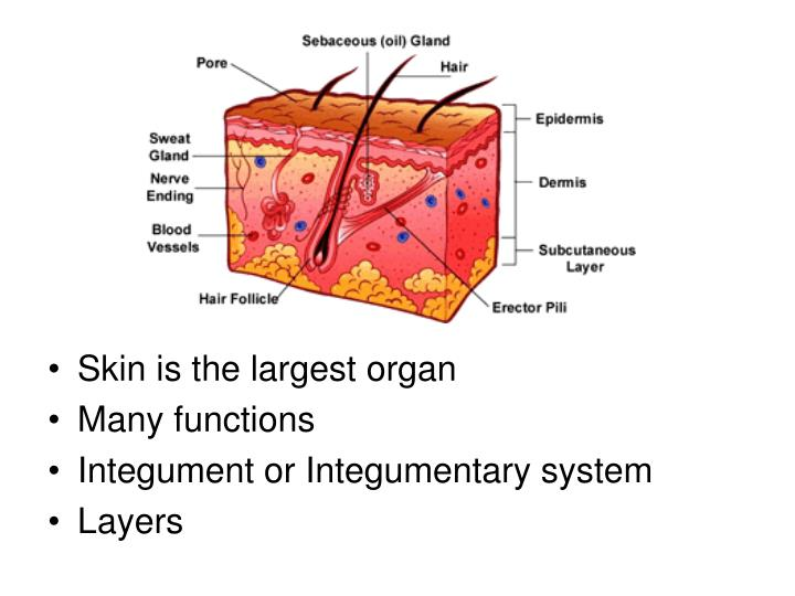 Skin is the largest organ