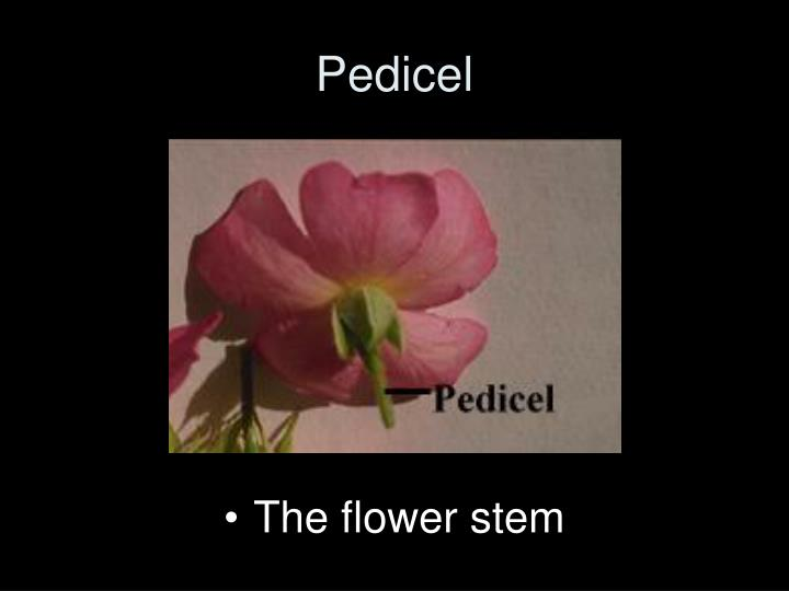Pedicel