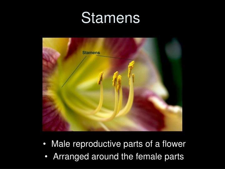Stamens