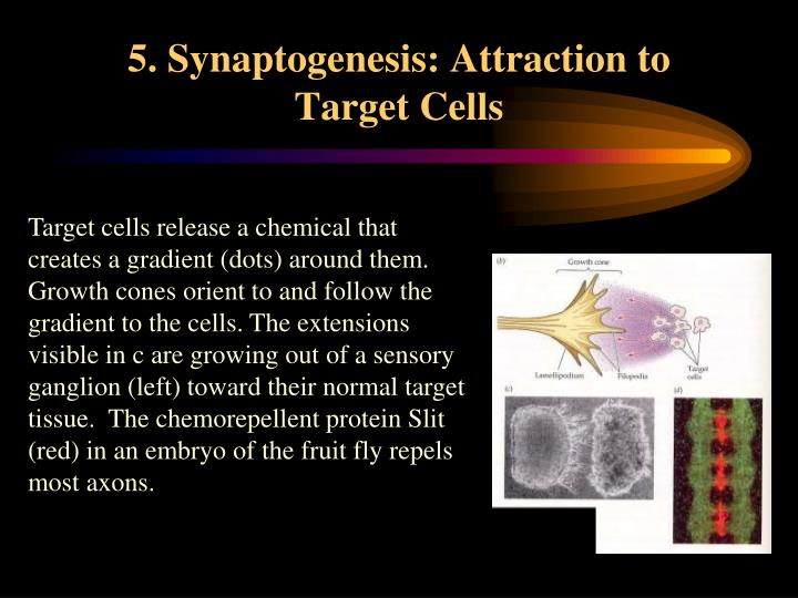 5. Synaptogenesis: Attraction to Target Cells