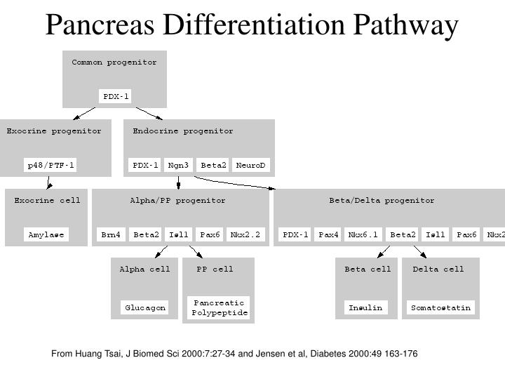Pancreas Differentiation Pathway