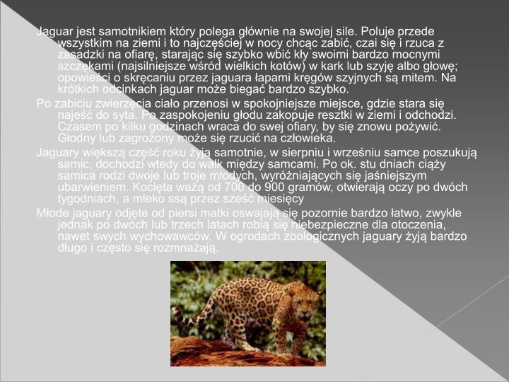 Jaguar jest samotnikiem ktry polega gwnie na swojej sile. Poluje przede wszystkim na ziemi i to najczciej w nocy chcc zabi, czai si i rzuca z zasadzki na ofiar, starajc si szybko wbi ky swoimi bardzo mocnymi szczkami (najsilniejsze wrd wielkich kotw) w kark lub szyj albo gow; opowieci o skrcaniu przez jaguara apami krgw szyjnych s mitem. Na krtkich odcinkach jaguar moe biega bardzo szybko.
