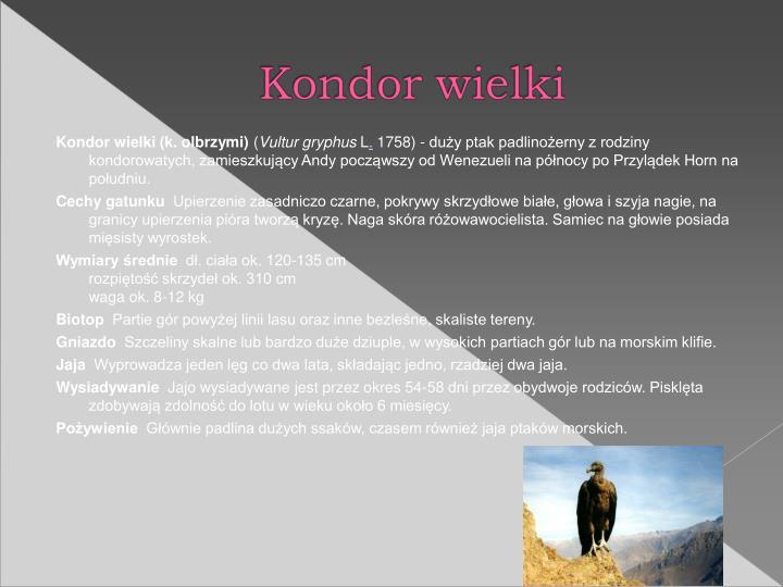 Kondor wielki (k. olbrzymi)