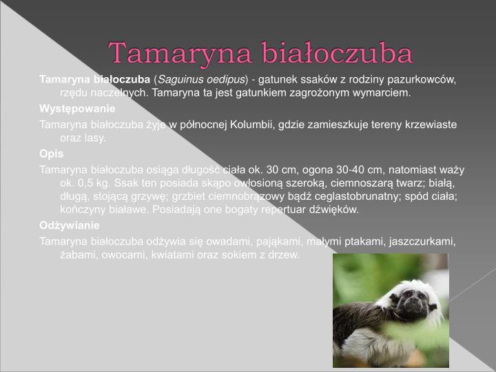 Tamaryna biaoczuba