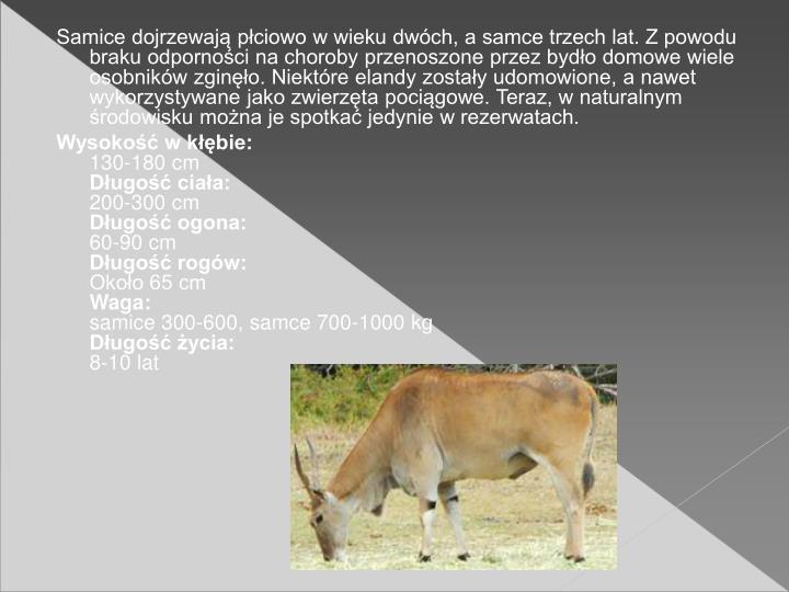 Samice dojrzewaj pciowo w wieku dwch, a samce trzech lat. Z powodu braku odpornoci na choroby przenoszone przez bydo domowe wiele osobnikw zgino. Niektre elandy zostay udomowione, a nawet wykorzystywane jako zwierzta pocigowe. Teraz, w naturalnym rodowisku mona je spotka jedynie w rezerwatach.