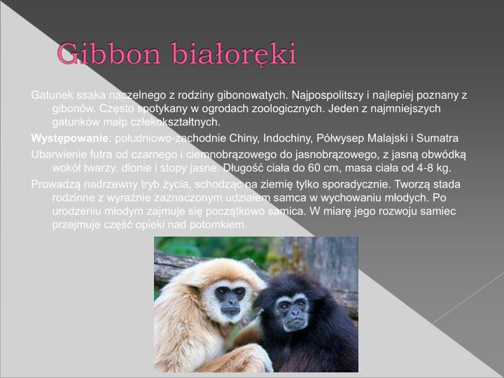 Gatunek ssaka naczelnego z rodziny gibonowatych. Najpospolitszy i najlepiej poznany z gibonw. Czsto spotykany w ogrodach zoologicznych. Jeden z najmniejszych gatunkw map czekoksztatnych.