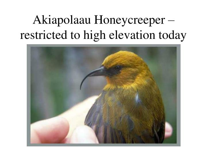 Akiapolaau Honeycreeper – restricted to high elevation today